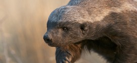 Study shows Honey Badger is most caring mammal