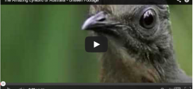 VIDEO: Lyrebird Trolls David Attenborough